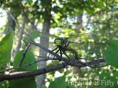 Dragon fly  resting on a branch