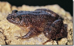 SHIRADI NIGHT FROG- Nyctibatrachus shiradi