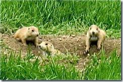 a - baby prairie dogs