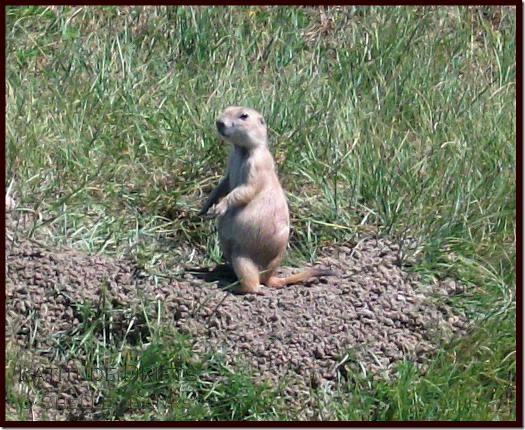 Blacik-tailed Prairie Dog - July standing