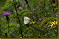Small White, Pieris rapae