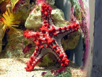 Amazing Pictures of Animals, Photo, Nature, Incredibel, Funny, Zoo, Starfish, Sea Stars, Asteroidea, Alex (13)