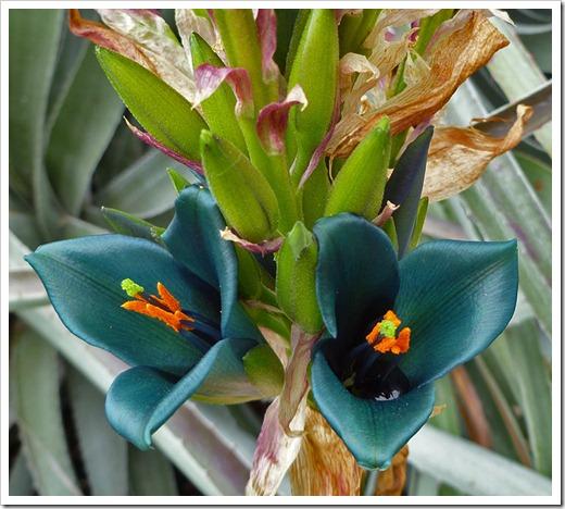 Puya-alpestris-(flower)_01