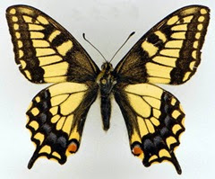 papilio_machaon_lead_photo