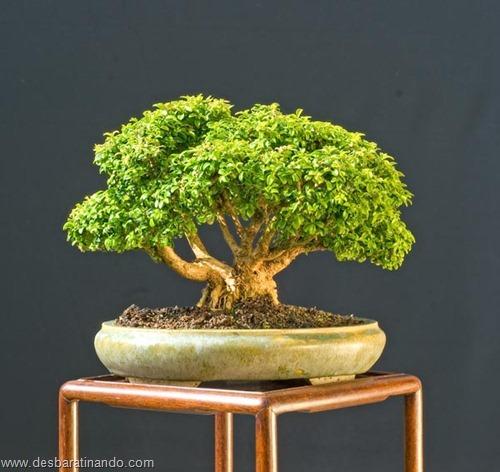 bonsais arvores em miniatura desbaratinando (88)