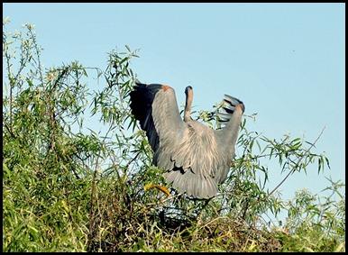 02b - Great Blue Heron