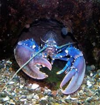 Amazing Pictures of Animals, photo, Nature, exotic, funny, incredibel, Zoo, Homarus gammarus, European lobster or common lobster, Alex (11)