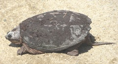 snapping turtle Plympton 4.10.13