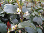 Even the tiny, normally insignificant flowers of holly contribute to the floral effect in this garden.