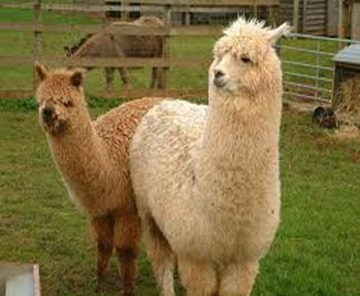 Amazing Pictures of Animals, photo, Nature exotic, funny, incredibel, Zoo, Vicugna pacos, Alpaca, Alex (2)