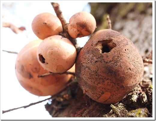120102_brown_oak_galls