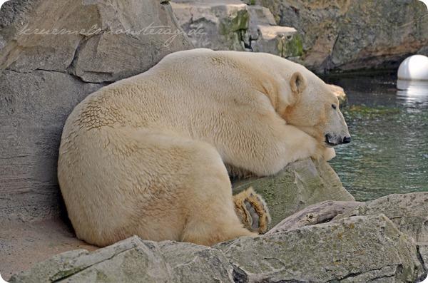 Wremen 20zwölf Tag 6 Zoo am Meer - Eisbär (3)