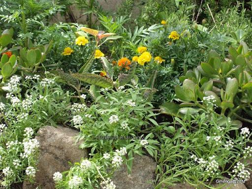 rocaille - Lobularia maritima (Alysse) - Tagète patula (oeillet d'inde) - Kalanchoe - Crassula
