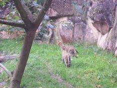 2013.10.26-026 servals