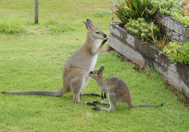 Local wallabies
