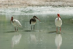 White-Ibis-Family