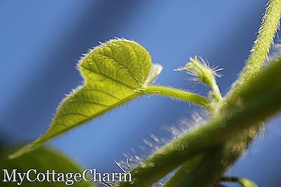 morning glory vine against the morning sky