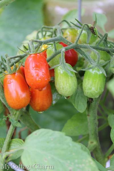 an umbrella of grape tomatoes