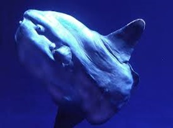 Amazing Pictures of Animals, photo, Nature, exotic, funny, incredibel, Zoo, ocean sunfish, Mola mola, or common mola, Alex (8)