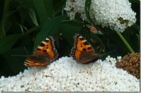 small torts on white buddleia