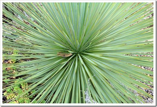 121228_UCBotGarden_Yucca-thompsoniana_02