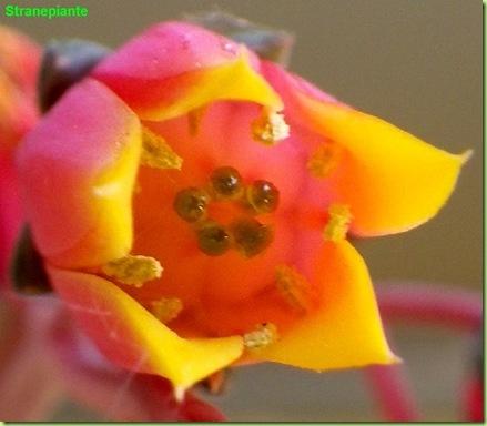 Echeveria purpusorum fiore
