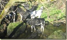 11.Drimoleague  y sus vacas higiénicas
