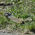 Uinta.ground.squirrel.dscn3594