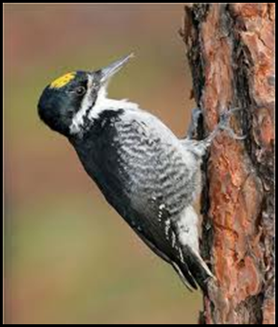 black backed woodpecker
