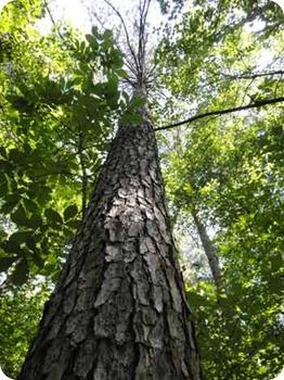 tall-tree-2