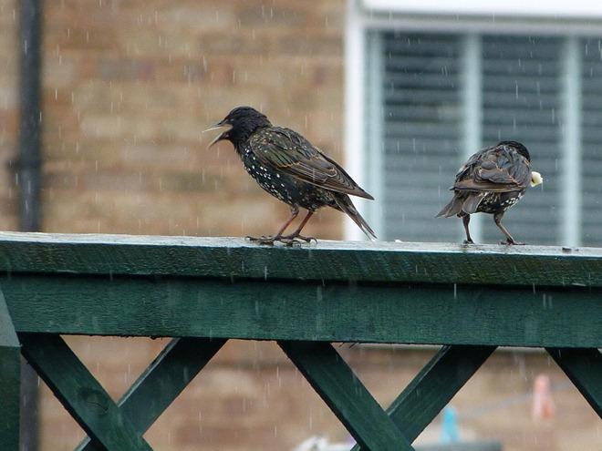 Дрозды под дождем в Англии