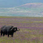 Büffel in einer blühenden Wiese in Ngorongoro © Foto: Ulrike Pârvu | Outback Africa Erlebnisreisen
