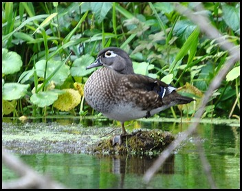 08 - Animals - Wood Duck Female1