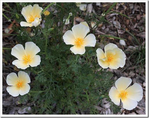 110508_Eschscholzia-californica-White-Linen_01