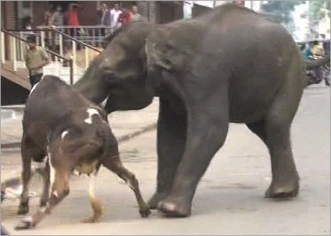 Elephants Invade Indian Town, Chaos Ensues 06