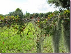 Vine with moss