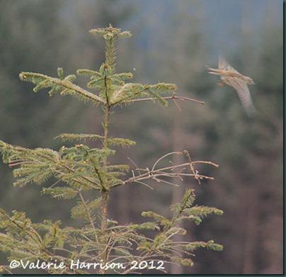 26-tree-pipit