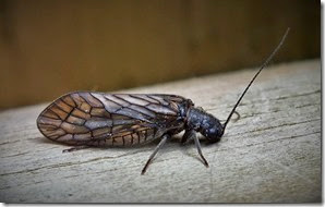 Alderfly Sialis lutaria Center Parcs May 2014