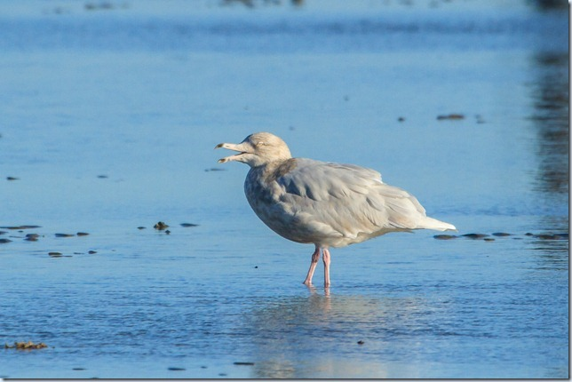 Dungeness_Glauc-2
