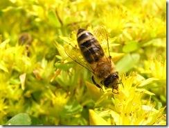 včely na květech 001