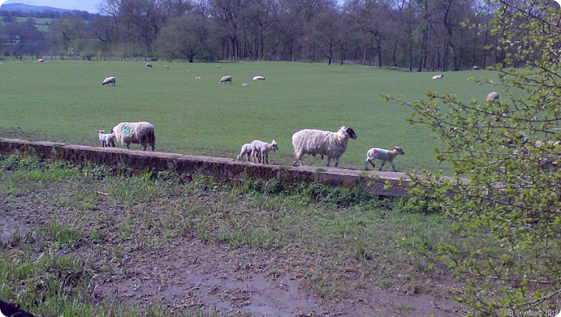 16042012250 Lambs