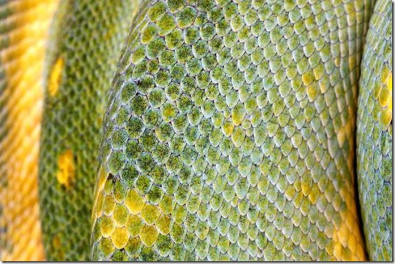 Extreme Closeup Of A Green Tree Python's Scales (macro) image from Bigstock