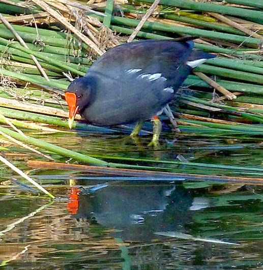 Amazing Pictures of Animals, Photo, Nature, Incredibel, Funny, Zoo, Common Moorhen, Gallinula chloropus, Aves, Alex (18)