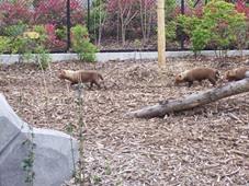 2014.04.21-064 chien des buissons