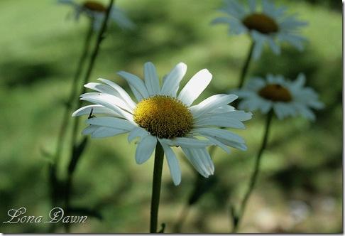 Daisy_Shadows