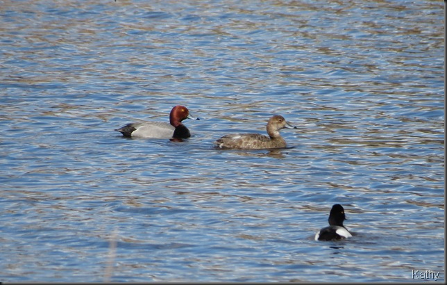 Pair of Red-head and a Scaup