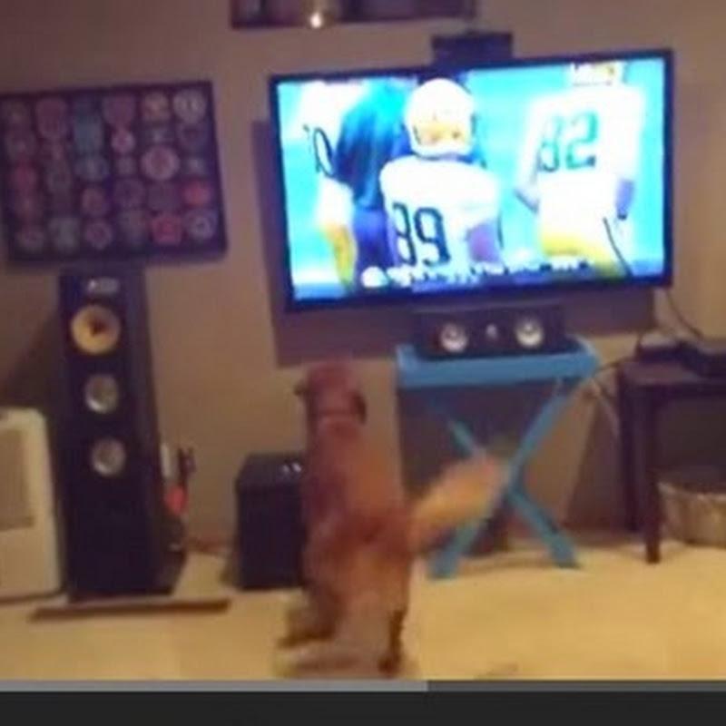 Σκύλος παρακολουθεί ποδόσφαιρο