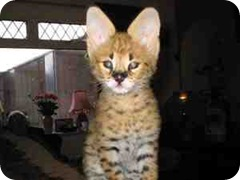serval-kitten-for-sale