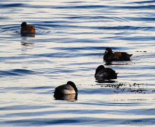 4. greater scaup-kab