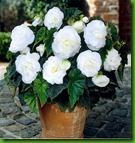 Begonia Dobrada Branca
